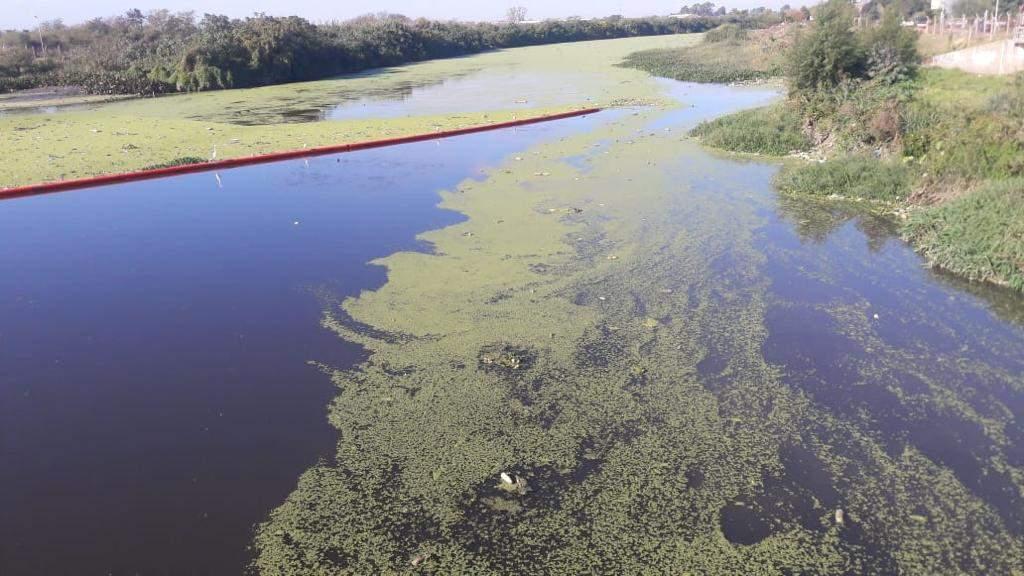 invasion-algas-delta-cianobacterias